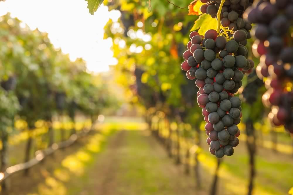 Il vino Le Pergole Torte: un'eccellenza toscana